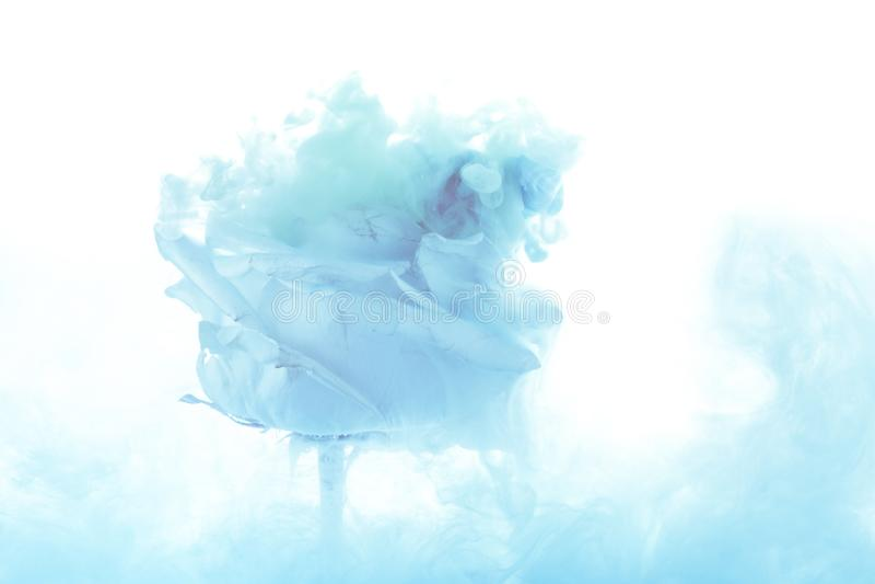 Il fiore rosa luminoso con il blu spruzza isolato su fondo bianco fotografia stock