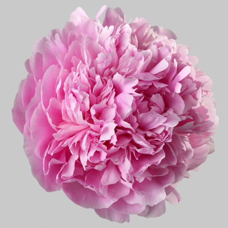 Il fiore rosa Terry della peonia ha isolato fotografia stock libera da diritti