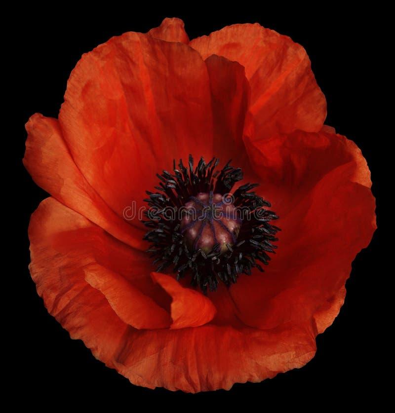 Il fiore rosso del papavero sul nero ha isolato il fondo con il percorso di ritaglio closeup Nessun ombre Per il disegno immagine stock