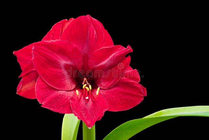 Il fiore rosso dell'amarillide sul nero ha isolato il fondo, spazio libero fotografia stock libera da diritti