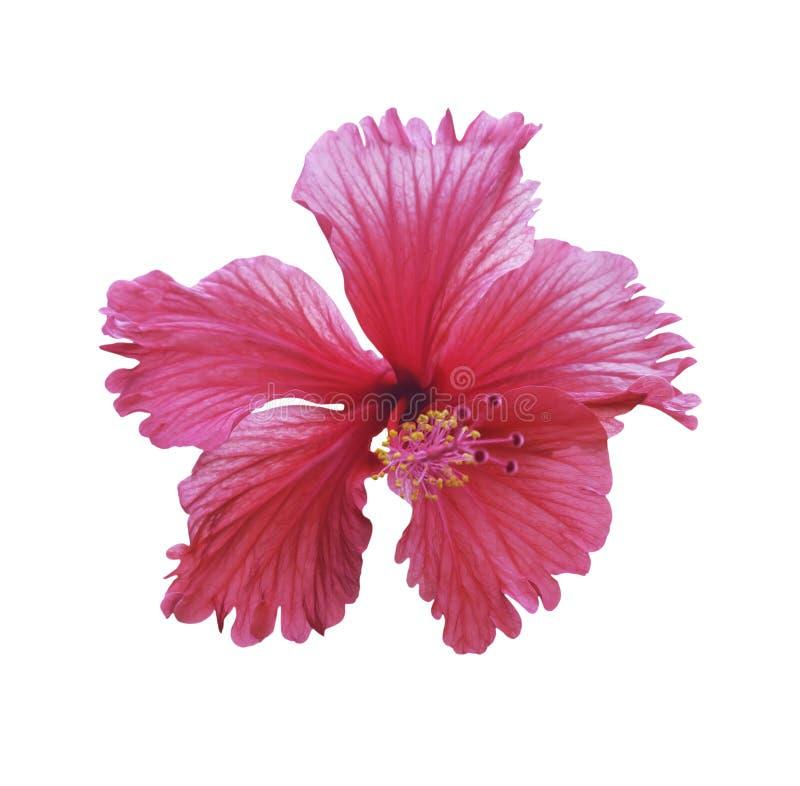 Il fiore rosso dell'ibisco ha isolato immagini stock libere da diritti
