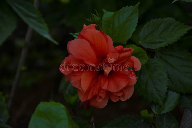 Il fiore rosso ha sottolineato fotografia stock libera da diritti