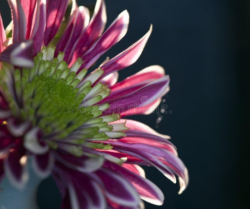 Il fiore rosso nel vaso fotografie stock libere da diritti