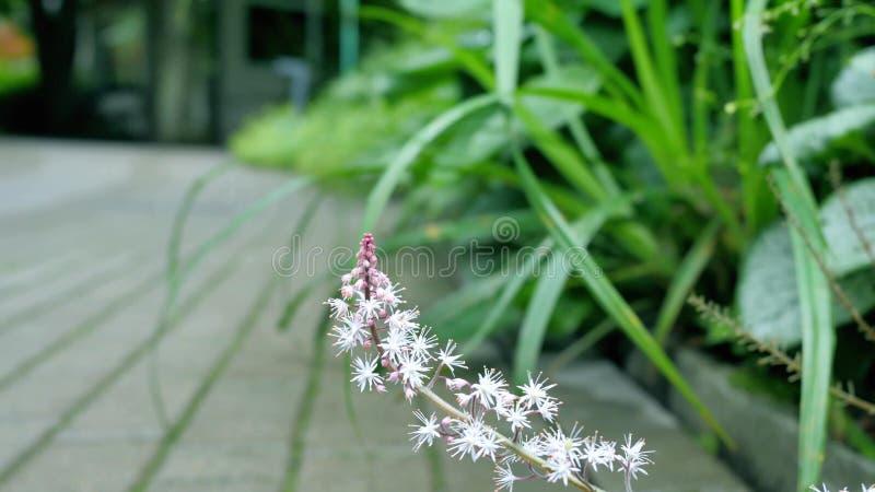 Il fiore selvaggio bianco è aumentato da dietro un cespuglio lungo la strada fotografia stock