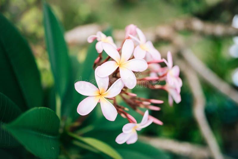il fiore tropicale del frangipane bianco rosa, plumeria fiorisce la fioritura sull'albero, fiore della stazione termale immagine stock