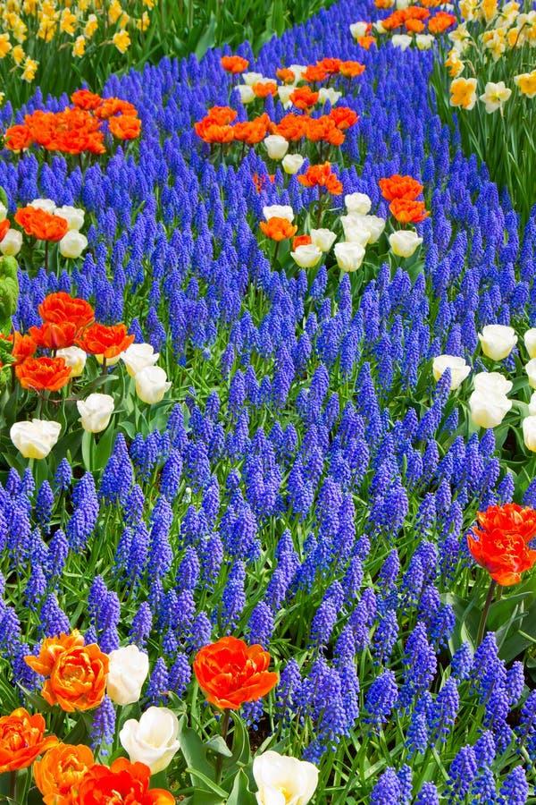 Il fiume blu del muscari fiorisce nel giardino dell'Olanda fotografia stock libera da diritti