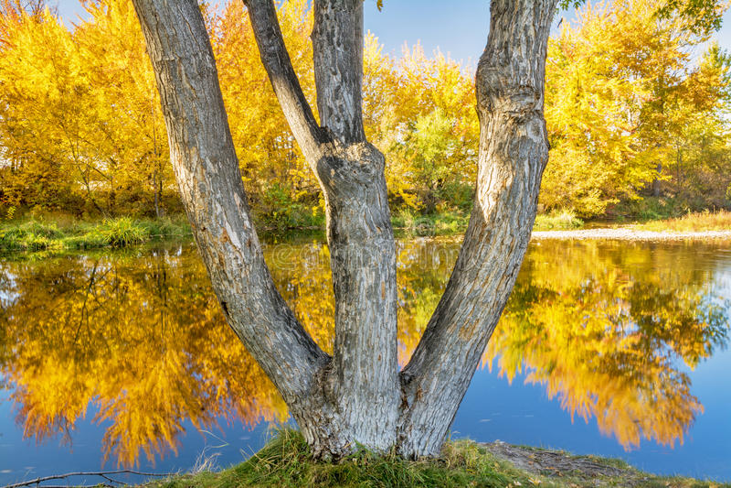 Il fiume di Boise con un albero si è biforcato le riflessioni di autunno dell'albero immagine stock