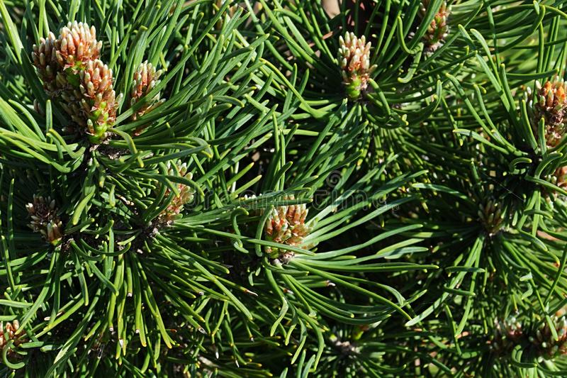 Il fogliame denso del pino di Mouintain del nano della conifera, il pinus mugo latino di nome, la cultivar Turra passa lo stracci immagini stock libere da diritti