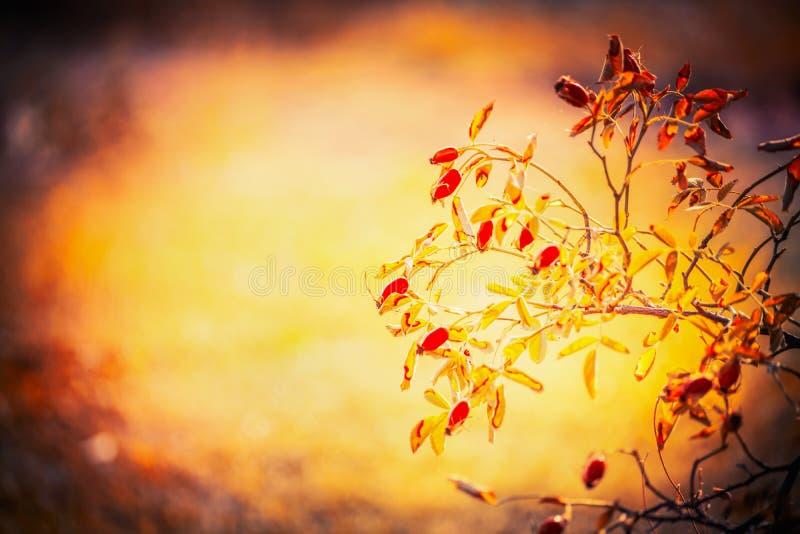 Il fondo della natura di autunno con i cinorrodi si ramifica in giardino o in parco immagine stock libera da diritti