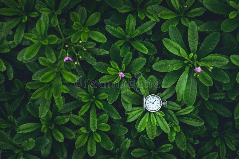 Il fondo delle foglie verdi ed il vecchio orologio da tasca d'argento cronometrano dentro fotografie stock libere da diritti