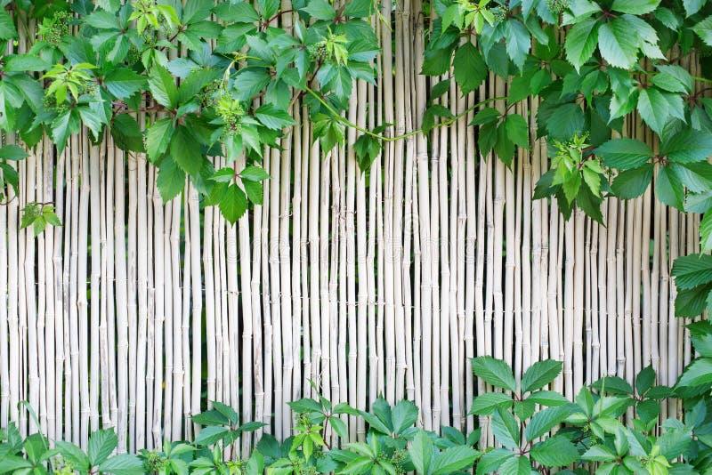 Il fondo di bambù bianco di struttura del recinto con l'uva verde va fotografie stock libere da diritti