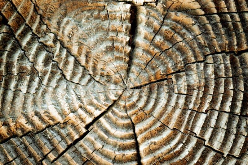 Il fondo di vecchia sega ha tagliato il legno asciutto con gli anelli annuali La struttura dei ceppi tagliati immagine stock libera da diritti