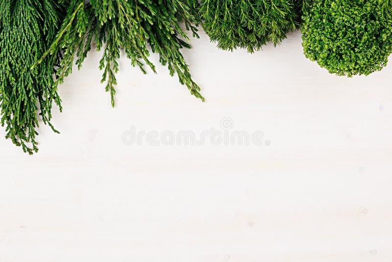 Il fondo fresco di giovane conifera verde si ramifica come confine con lo spazio della copia sul fondo bianco del bordo di legno immagini stock libere da diritti