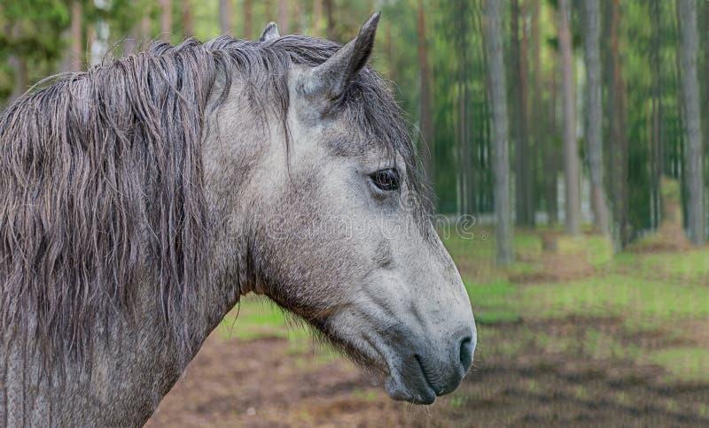 Il fondo grigio del primo piano del cavallo di nidiata offusca il giorno soleggiato della foresta, p fotografia stock libera da diritti