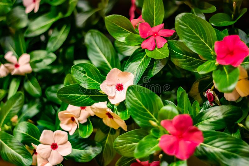 Il fondo ha creato da una piantagione di fioritura particolare, molto variopinta di verde rosso e rosa fotografia stock