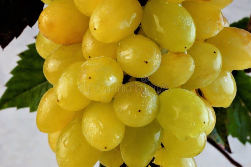Il fondo l'uva è maturo sul ramo, la materia prima per la produzione di vino immagine stock