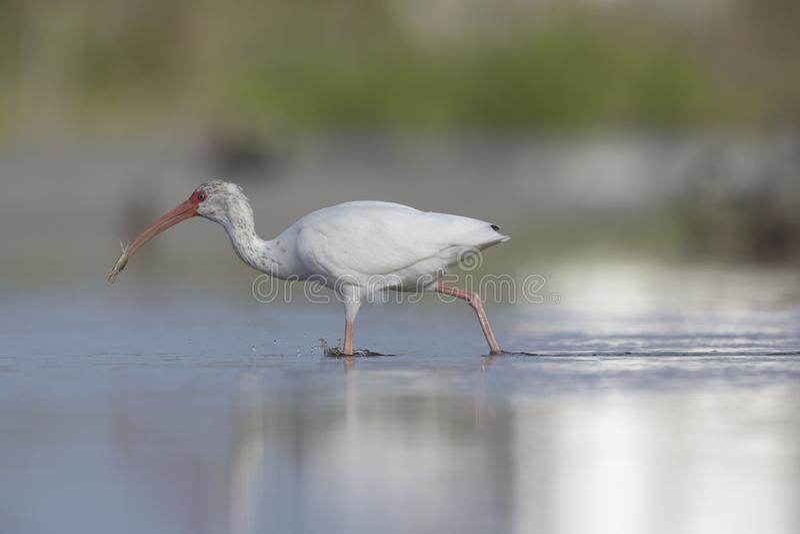 Il foraggiamento bianco americano di albus di Eudocimus dell'ibis ed i granchi di cattura in uno stagno a Meyers forte tirano immagine stock libera da diritti