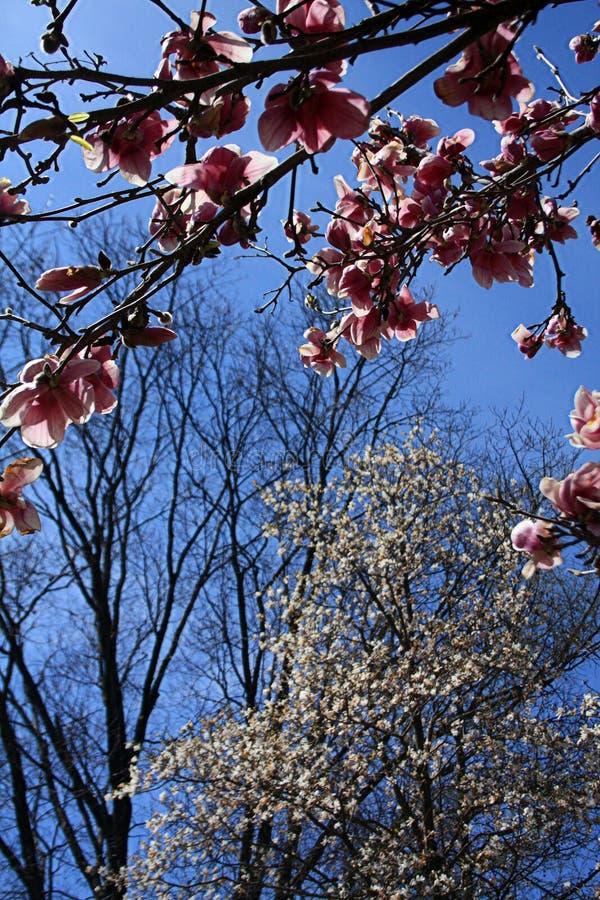 Il formato verticale di un albero della magnolia di piattino sboccia con cielo blu immagini stock