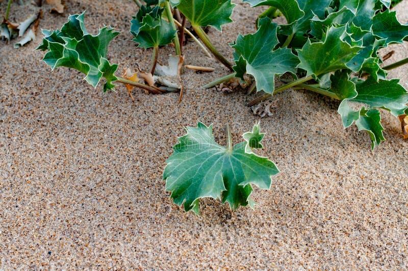 Il formicolio verde fresco va della pianta marina del Eryngium fotografia stock