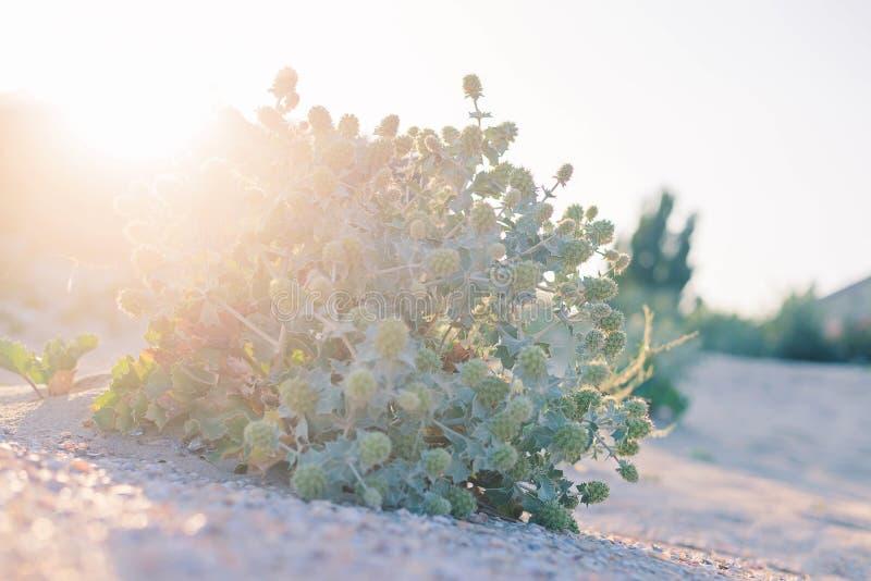 Il formicolio verde si sviluppa sulla sabbia della spiaggia Il cespuglio del Eryngium si sviluppa sulla sabbia della spiaggia del fotografie stock libere da diritti