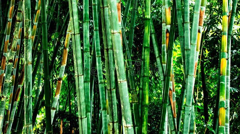 Il forset verde di bambo fotografie stock libere da diritti