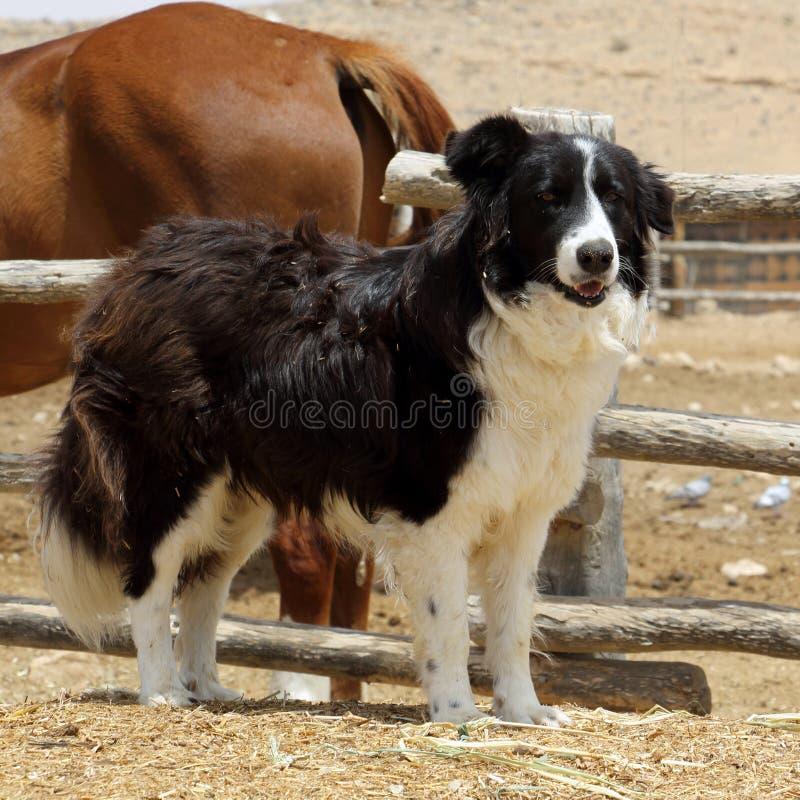 Il forte cane irsuto custodice il recinto chiuso del cavallo su un'azienda agricola negev immagini stock libere da diritti