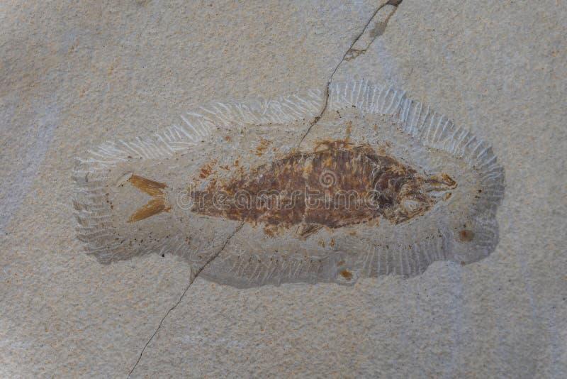 Il fossile del pesce antico in una roccia immagine stock libera da diritti