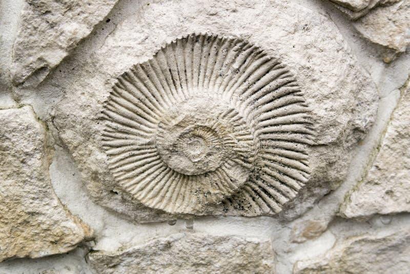 Il fossile dell'ammonite nella parete fotografia stock
