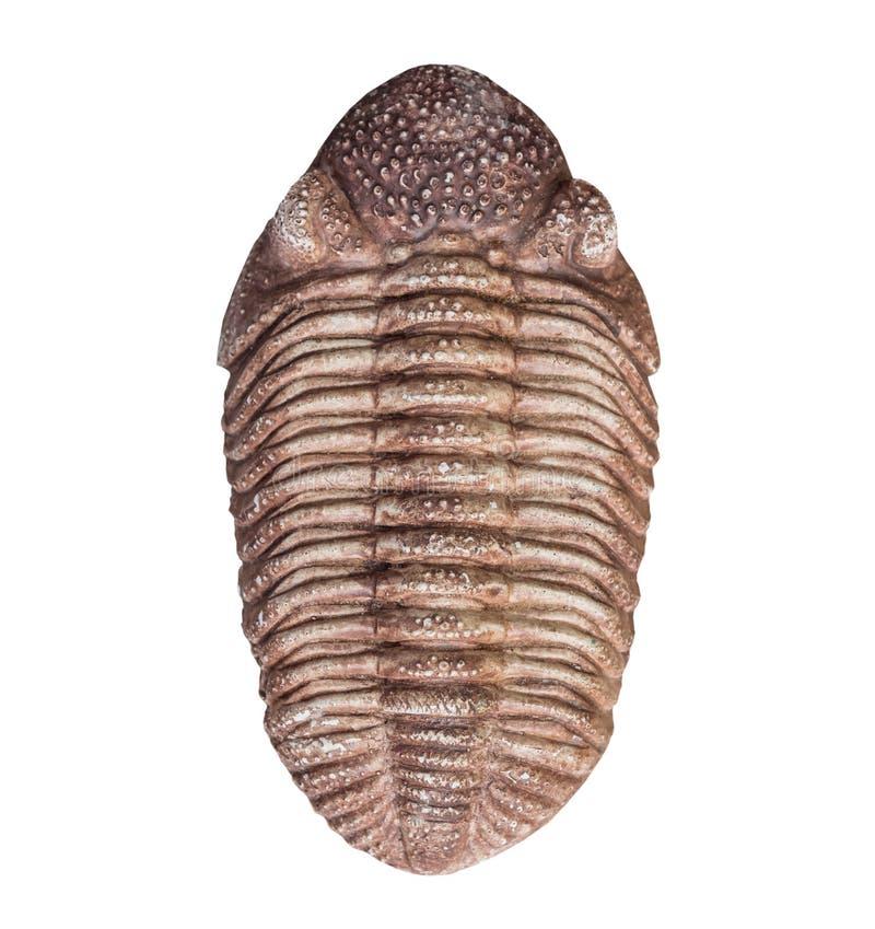 Il fossile della trilobite su fondo bianco, isolato fotografia stock libera da diritti
