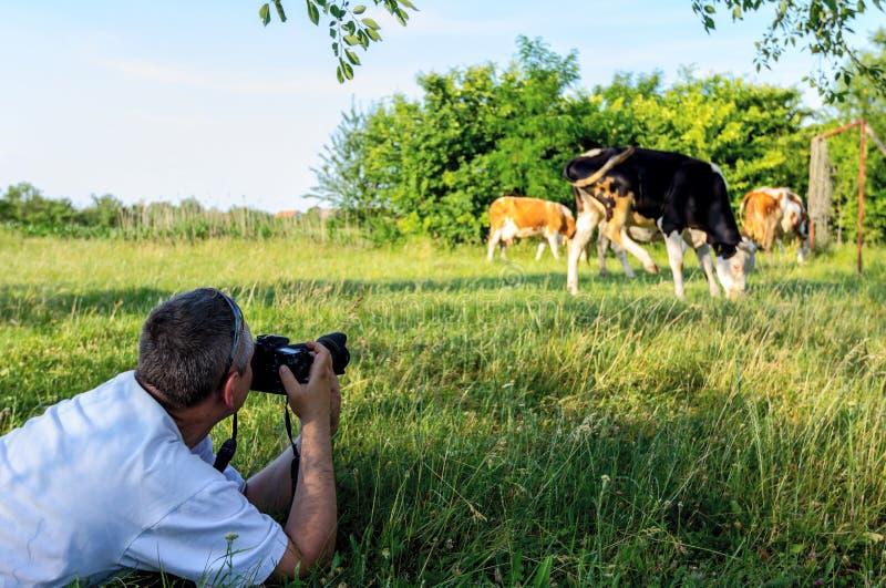 Il fotografo sta prendendo una foto delle mucche del bloodstock fino a pascere immagini stock