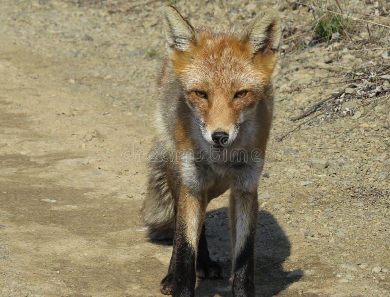 Il Fox è andato sulla strada e richiede gli ossequi immagine stock libera da diritti