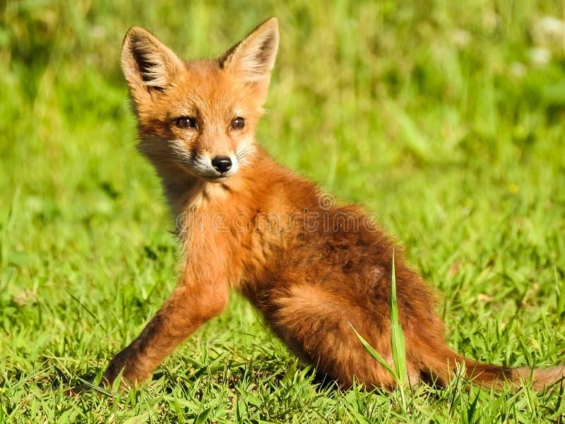 Il Fox rosso del giovane bambino posa in erba vicino alla casa fotografia stock libera da diritti