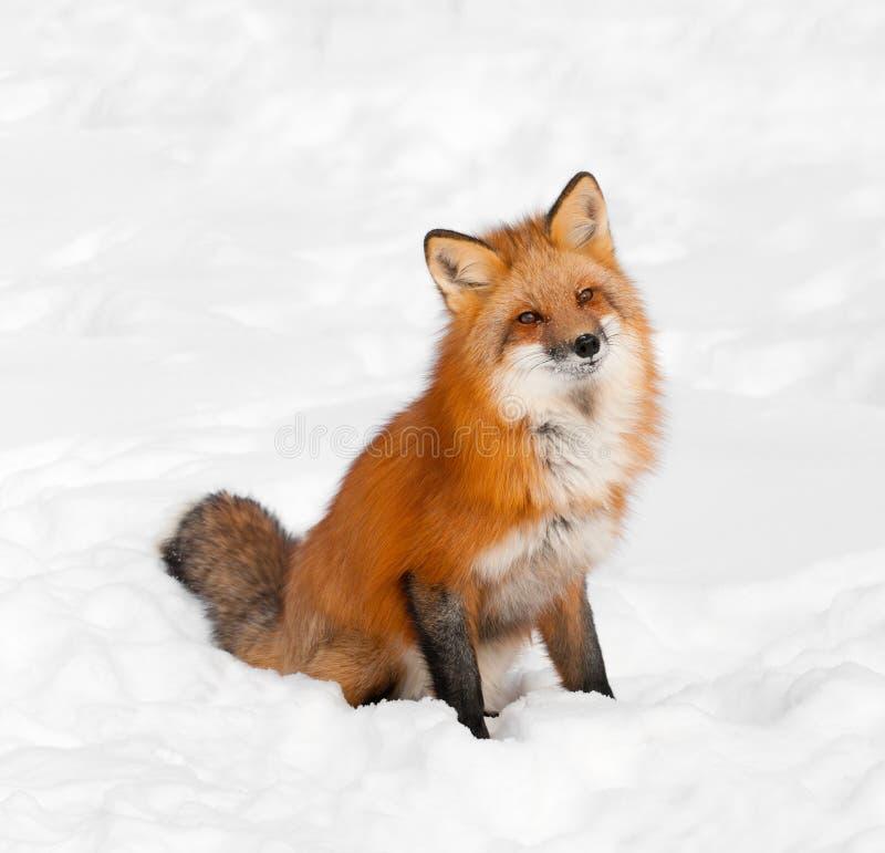 Il Fox rosso (vulpes del Vulpes) si siede in neve con la testa ammucchiata immagini stock