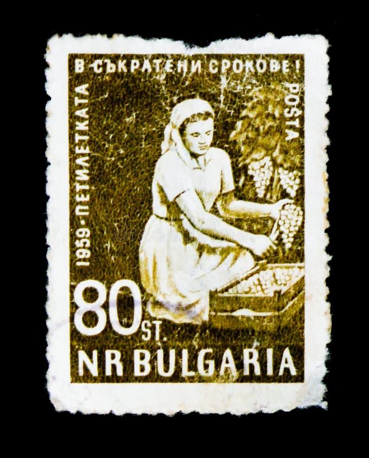 Il francobollo della Bulgaria mostra la donna del lavoratore che raccoglie l'uva, un completamento iniziale di un piano di 5 anni immagini stock