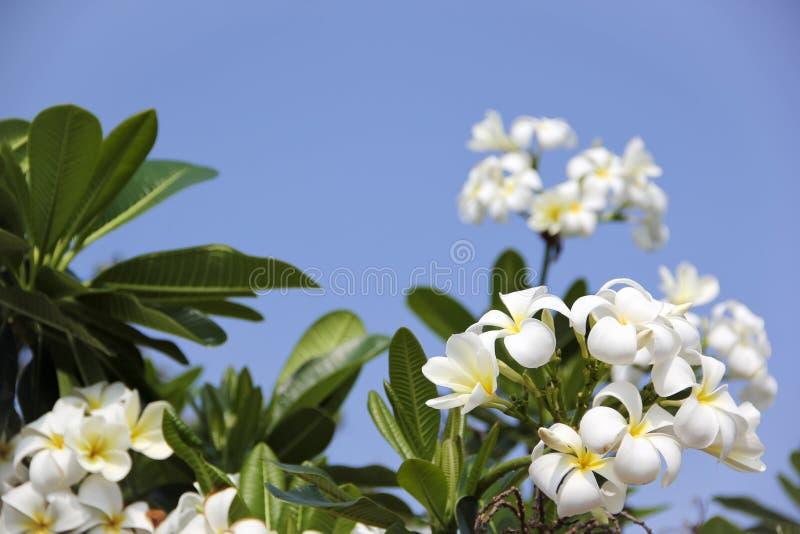 Il frangipani tropicale fiorisce il cielo blu fotografie stock libere da diritti