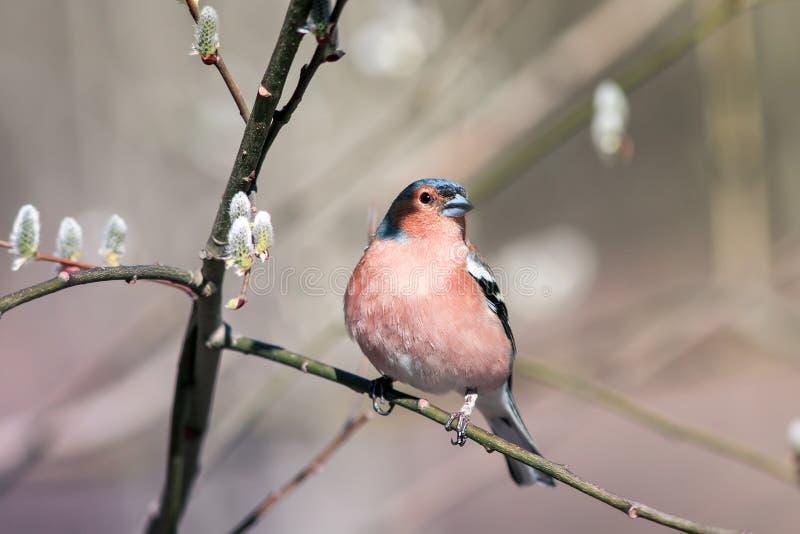 il fringillide dell'uccello canoro si siede su un ramo del salice con i germogli in primavera Sunny Park fotografia stock libera da diritti