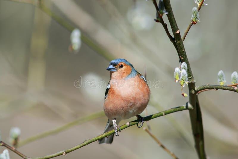 Il fringillide migratore ha volato al ramo del salice con i germogli in primavera Sunny Park fotografie stock