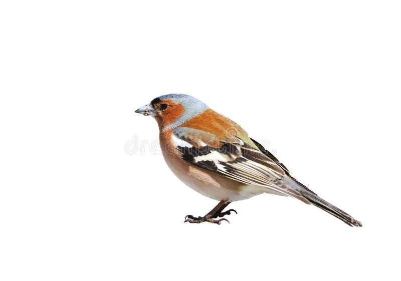 Il fringuello dell'uccello del ritratto su un bianco ha isolato il fondo immagine stock