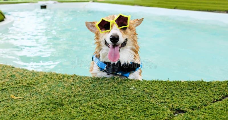 Il fronte adorabile di sorriso del cane del corgi di lingua gallese indossa gli occhiali da sole gialli nella piscina al fine set fotografie stock