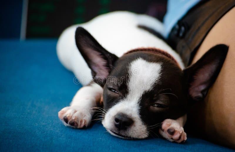 Il fronte alto vicino di poco cane, chihuahua, indica con il suoi proprietario, cutes di sguardo ed adorabile fotografia stock libera da diritti