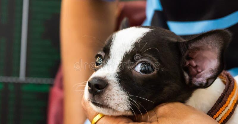 Il fronte alto vicino di poco cane, chihuahua, indica con il suoi proprietario, cutes di sguardo ed adorabile immagine stock