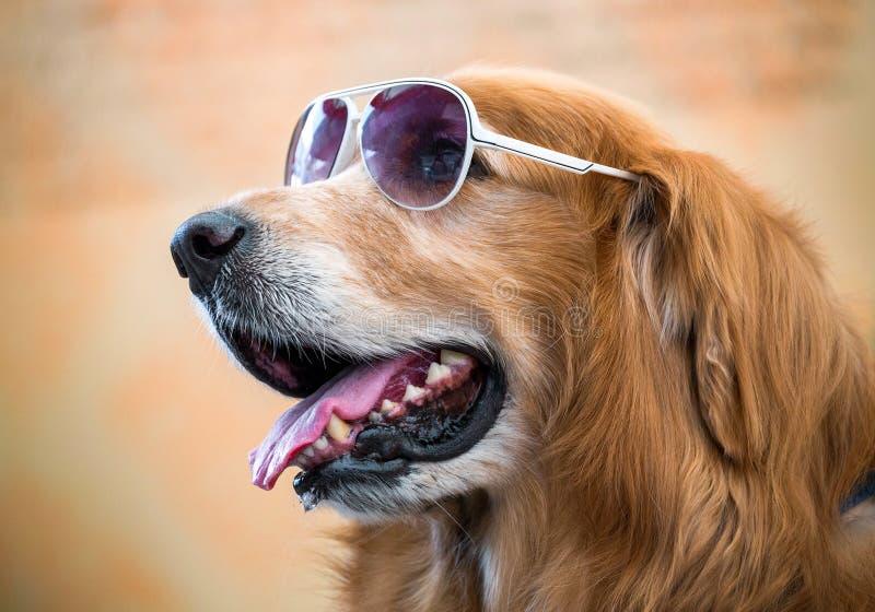 Il fronte del cane dorato fotografia stock