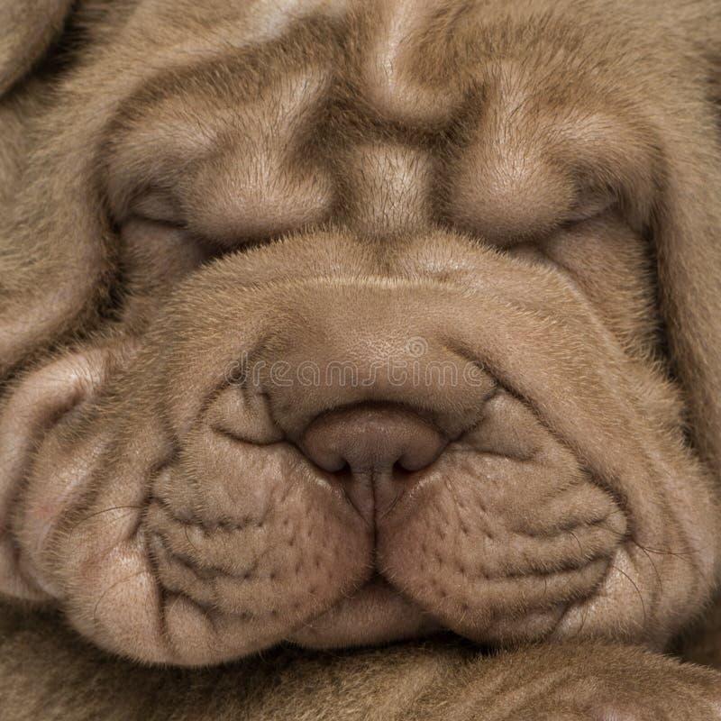 Il fronte del cucciolo di Shar Pei, isolato su bianco fotografia stock