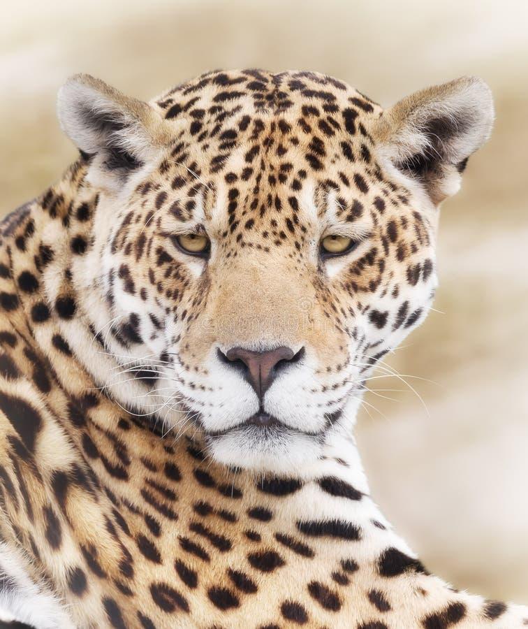 Il fronte del leopardo immagine stock
