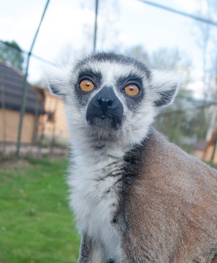 Il fronte di belle lemure simili a pelliccia, esaminante direttamente la macchina fotografica immagini stock