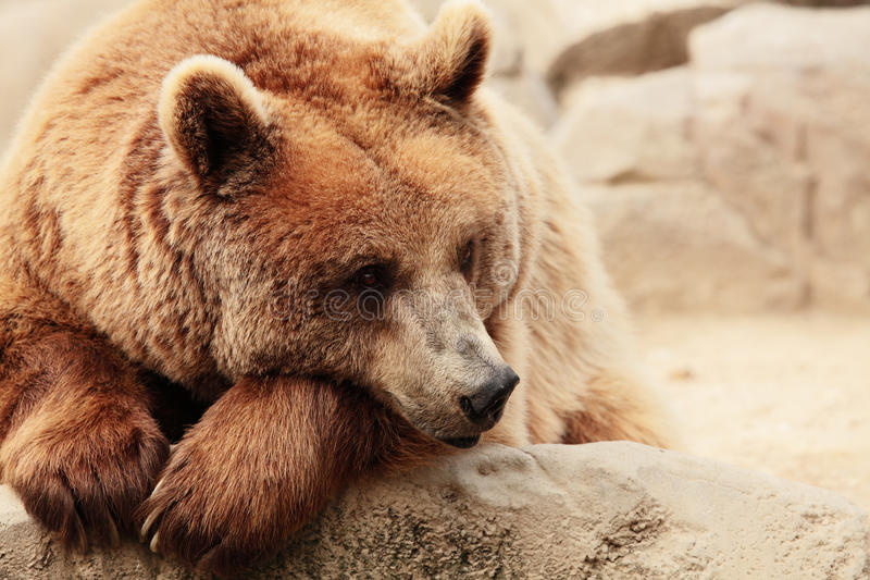 Il fronte di un orso fotografia stock