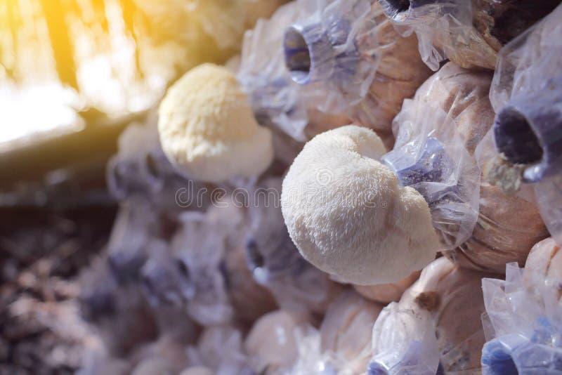 Il fungo della criniera del ` s del leone che cresce nel fungo coltiva immagine stock libera da diritti