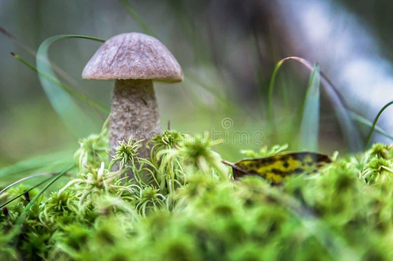 Il fungo sveglio del porcino sta sviluppandosi nell'erba Il bello piccolo cappuccio marrone di un porcino è nel fuoco fotografie stock libere da diritti
