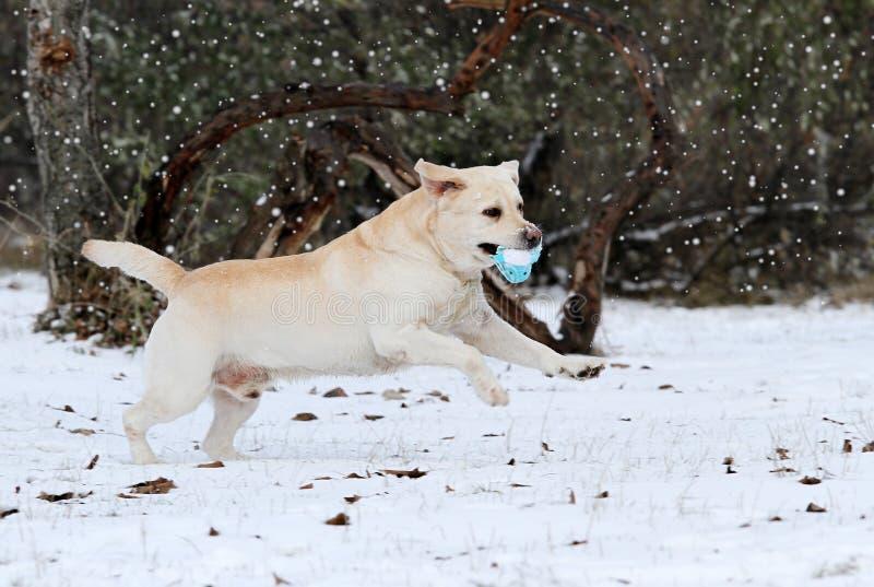 Il funzionamento giallo di labrador nell'inverno in neve con un giocattolo immagine stock