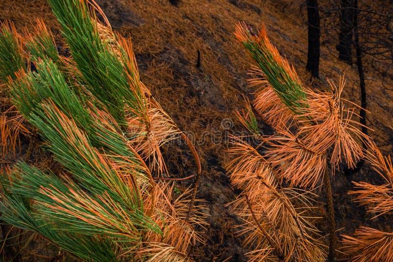 Il fuoco in autunno ha colpito un pino immagini stock